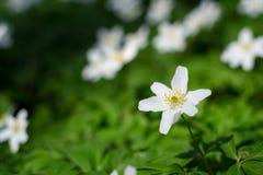Wiosna kwiat drewnianych anemon?w zbli?enia fotografia zdjęcia royalty free