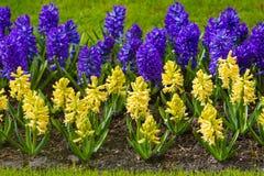 Wiosna kwiat.  hiacynt Zdjęcie Stock