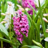 Wiosna kwiat.  hiacynt Obrazy Royalty Free