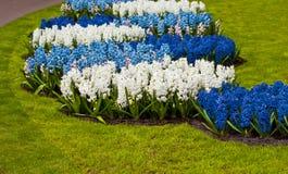 Wiosna kwiat.  hiacynt Obraz Royalty Free