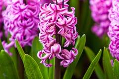 Wiosna kwiat.  hiacynt Zdjęcia Stock