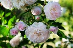 Wiosna kwiat menchii róża Zbliżenie menchii róży wiosny kwiat Obrazy Stock