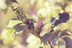 Wiosna kwiat menchii róża Zbliżenie menchii róży wiosny kwiat Zdjęcie Stock