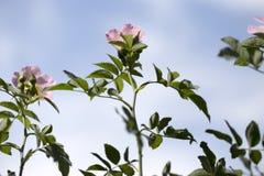 Wiosna kwiat menchii róża Zbliżenie menchii róży wiosny kwiat Zdjęcie Royalty Free
