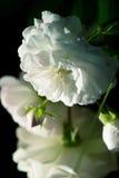 Wiosna kwiat menchii róża Zbliżenie menchii róży wiosny kwiat Obraz Royalty Free