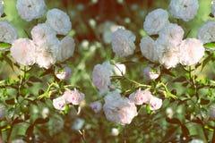 Wiosna kwiat menchii róża Zbliżenie menchii róży wiosny kwiat Zdjęcia Royalty Free