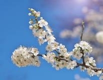 Wiosna kwiat na drzewie fotografia royalty free