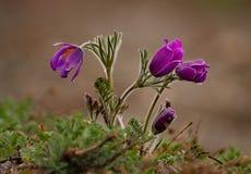 wiosna kwiat Prostrel trawa Fotografia Royalty Free