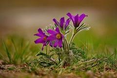 wiosna kwiat Prostrel trawa Obraz Stock