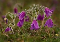 wiosna kwiat Prostrel trawa Zdjęcia Royalty Free