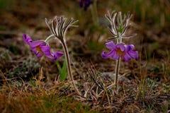wiosna kwiat Prostrel trawa Fotografia Stock