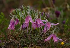 wiosna kwiat Prostrel trawa Zdjęcie Stock