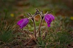 wiosna kwiat Prostrel trawa Zdjęcie Royalty Free