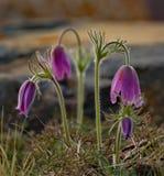 wiosna kwiat Prostrel trawa Obraz Royalty Free