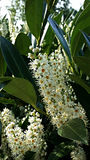 Wiosna kwiat: Puget Sound Obrazy Royalty Free