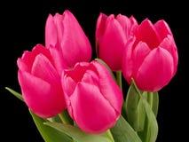 wiosna kwiat Różowi tulipany z zielonymi liśćmi na czarnym tle Obrazy Stock