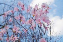 Wiosna kwiat Sakura, piękny czereśniowy okwitnięcie nad niebieskim niebem Fotografia Stock