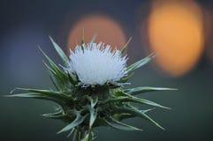 Wiosna kwiat, Silybum z zmierzchu t?em, kwitnie widok obrazy royalty free