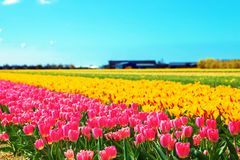 wiosna kwiat Wiosna tulipanu pole Obrazy Royalty Free