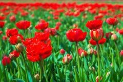 wiosna kwiat Wiosna tulipanu pole Obraz Stock