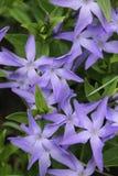 wiosna kwiat w domu winogrona fotografia royalty free