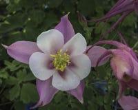 Wiosna kwiat w ranek rosie Obrazy Stock