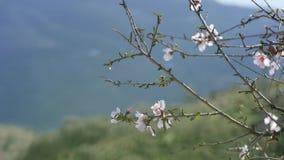 Wiosna Kwiatonośny drzewo Dziki migdał kwitnie w Hiszpania zdjęcie wideo