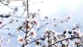Wiosna Kwiatonośny drzewo Dziki migdał kwitnie w Hiszpania zbiory