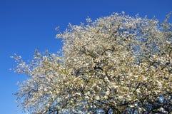 wiosna kwiatonośny drzewo Obrazy Royalty Free