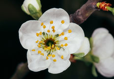 Wiosna kwiatu śliwki okwitnięcia Fotografia Royalty Free