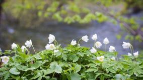 Wiosna kwiatu anemon zdjęcie stock