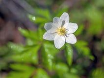 Wiosna kwiatu anemon na zamazanym tle z kroplami rosa zdjęcie stock