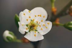 Wiosna kwiatu czereśniowi okwitnięcia Zdjęcia Stock