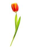 Wiosna kwiatu czerwieni tulipan Zdjęcie Stock