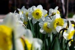 Wiosna kwiatu daffodil zdjęcie stock