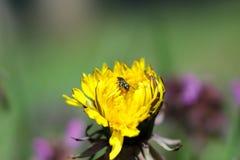 Wiosna kwiatu dandelion zdjęcia royalty free