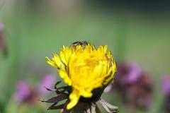 Wiosna kwiatu dandelion obrazy royalty free