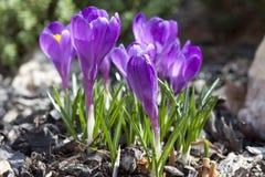Wiosna kwiatu Krokus Fotografia Stock