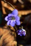 Wiosna kwiatu kwitnienie w lesie wśród starych zatartych liści Obrazy Stock