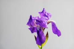 Wiosna kwiatu otwarty płatek Purpurowy irysowy kwiat Kwitnący kwiat na szarym tle Fotografia Stock
