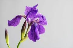 Wiosna kwiatu otwarty płatek Purpurowy irysowy kwiat Kwitnący kwiat na szarym tle Obraz Stock