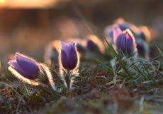 Wiosna kwiatu Pasqueflower- Pulsatilla grandis Obraz Stock