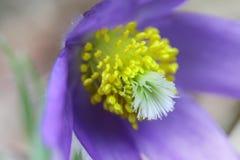 Wiosna kwiatu pasqueflower purpurowy dziki lasowy zakończenie up obraz royalty free