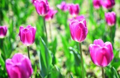 Wiosna kwiatu pole młodzi dorośli Uprawiać ziemię i uprawiać ogródek 8 marsz lub kobieta dzień Kwiatu sklepu pojęcie Matka dnia w obraz royalty free