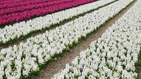 Wiosna kwiatu pole przy holandiami zdjęcie wideo