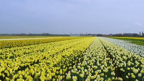 Wiosna kwiatu pole przy holandiami zbiory wideo