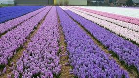 Wiosna kwiatu pole przy holandiami zbiory