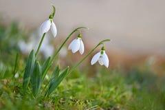 Wiosna kwiaty - śnieżyczki Pięknie kwitnący w trawie przy zmierzchem Amaryllidaceae - Galanthus nivalis zdjęcie royalty free