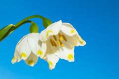 Wiosna kwiaty biała śnieżyczka przeciw niebu Zdjęcia Royalty Free
