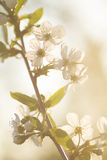Wiosna, kwiaty, kwiat, płatki, owocowi drzewa, natura, raca Obraz Royalty Free